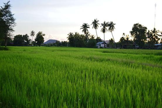 rice fields Si Phan Don