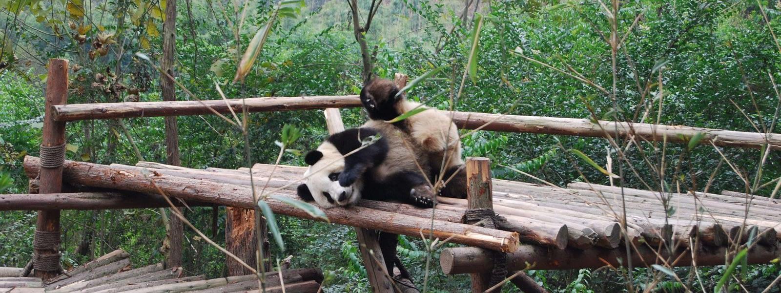 China Panda Breeding Center Chengdu China