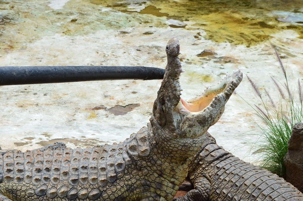 Mamba Village Crocodile photo