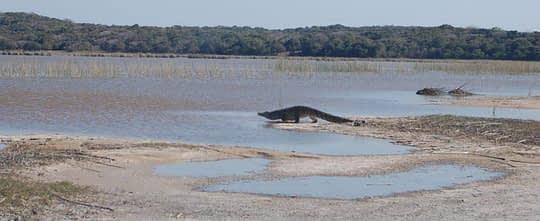 crocodile slides into the water lagoa chingute - Maputo Elephant Reserve