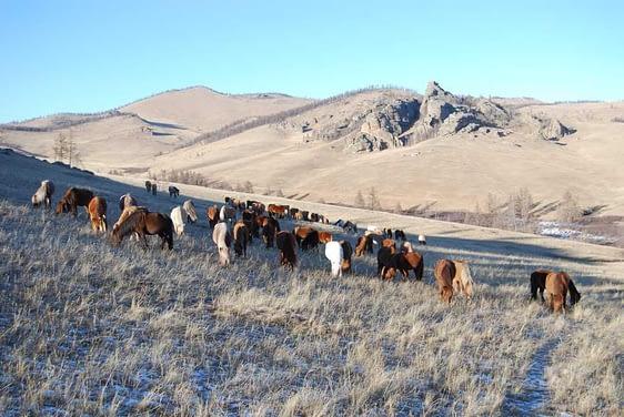 Herd of Mongolian Horses