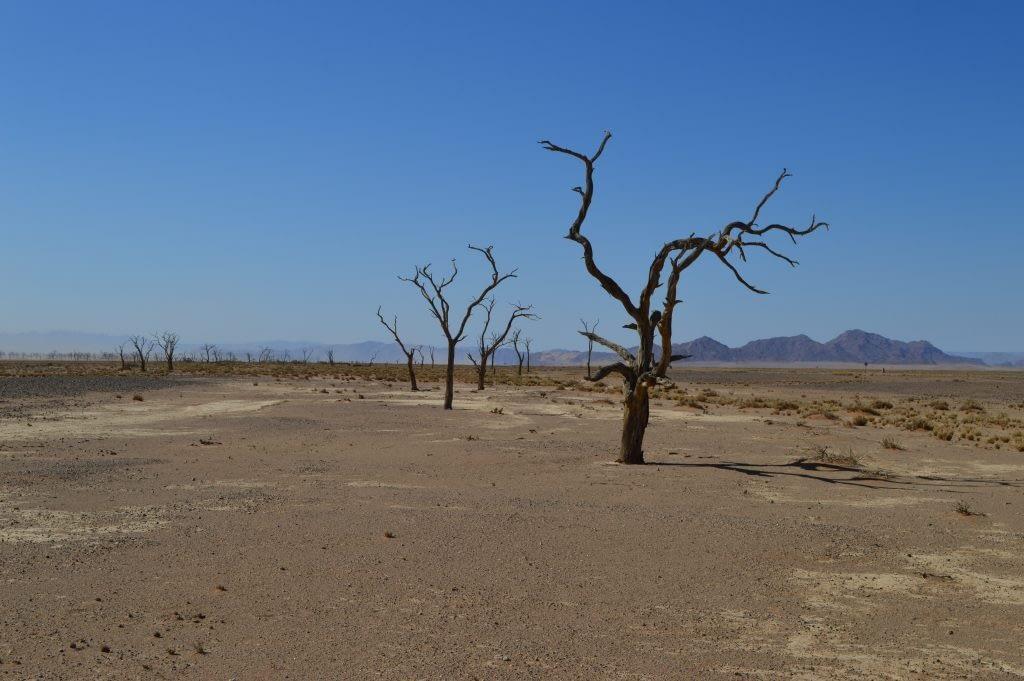 Camel Thorn trees Sossusvlei National Park
