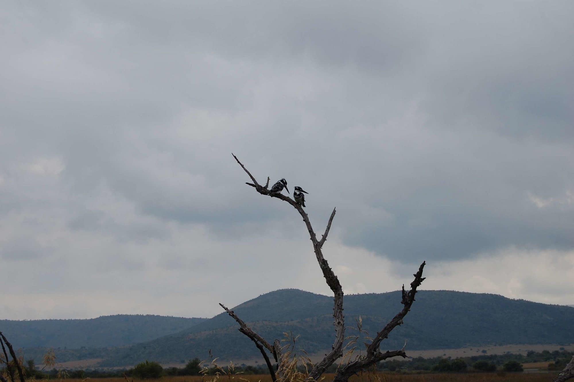 photo kingfishers mankwe dam pilansberg national park