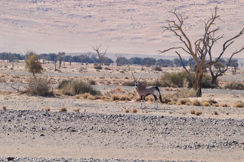 Oryx at Sossusvlei National park