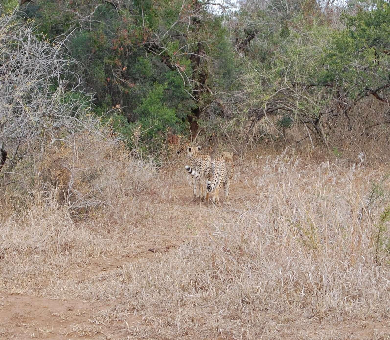Photo cheetahs Hluhluwe - Imfolozi Park