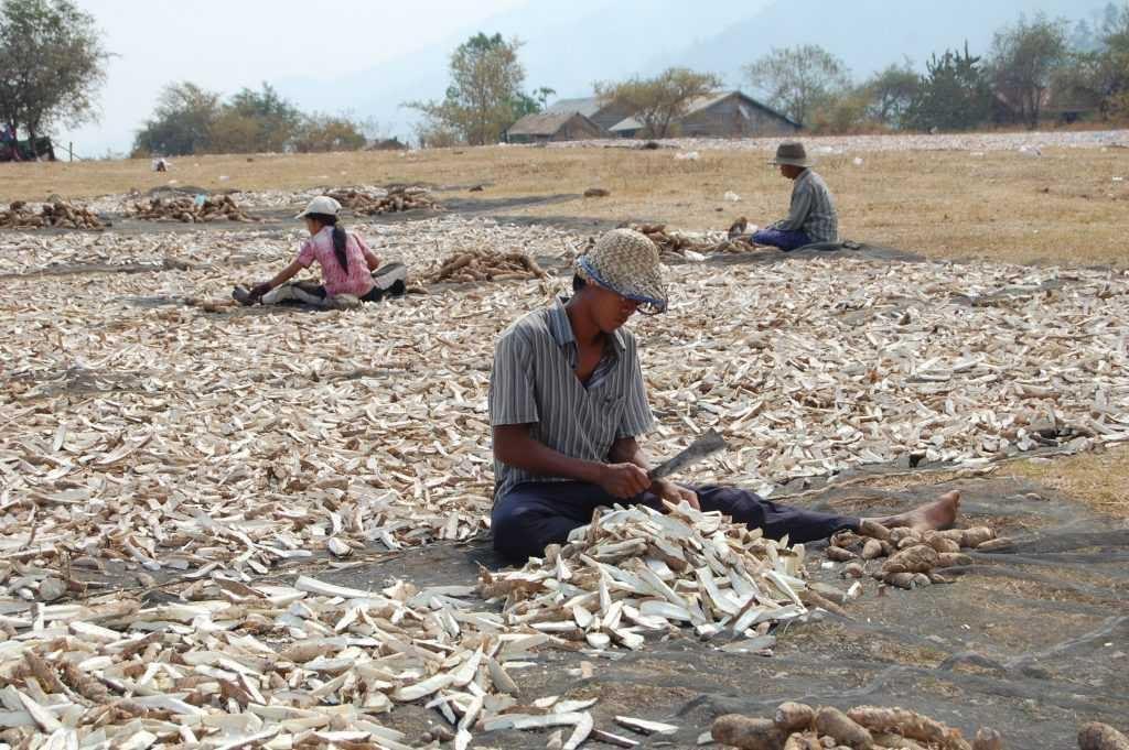 Cassava Root Farming