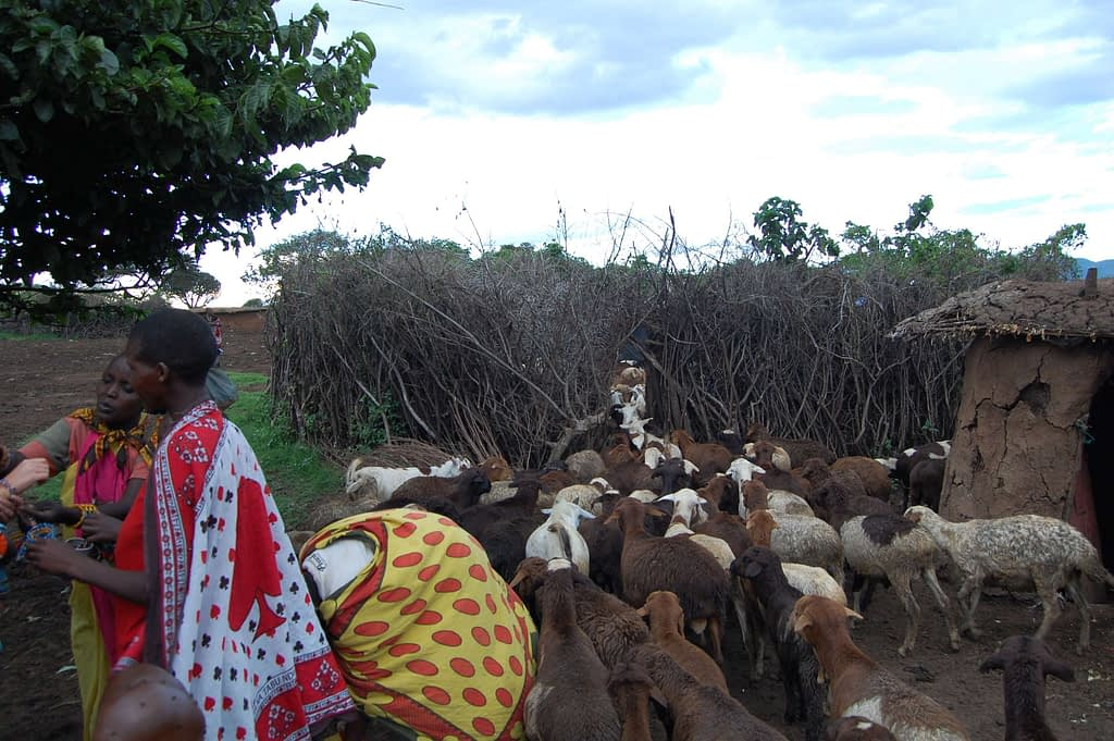 Photo Livestock Entering the Kraal at Dusk