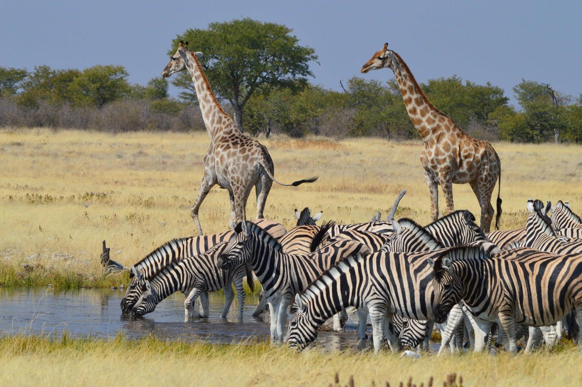 Photo Burchell's Zebra and Giraffes