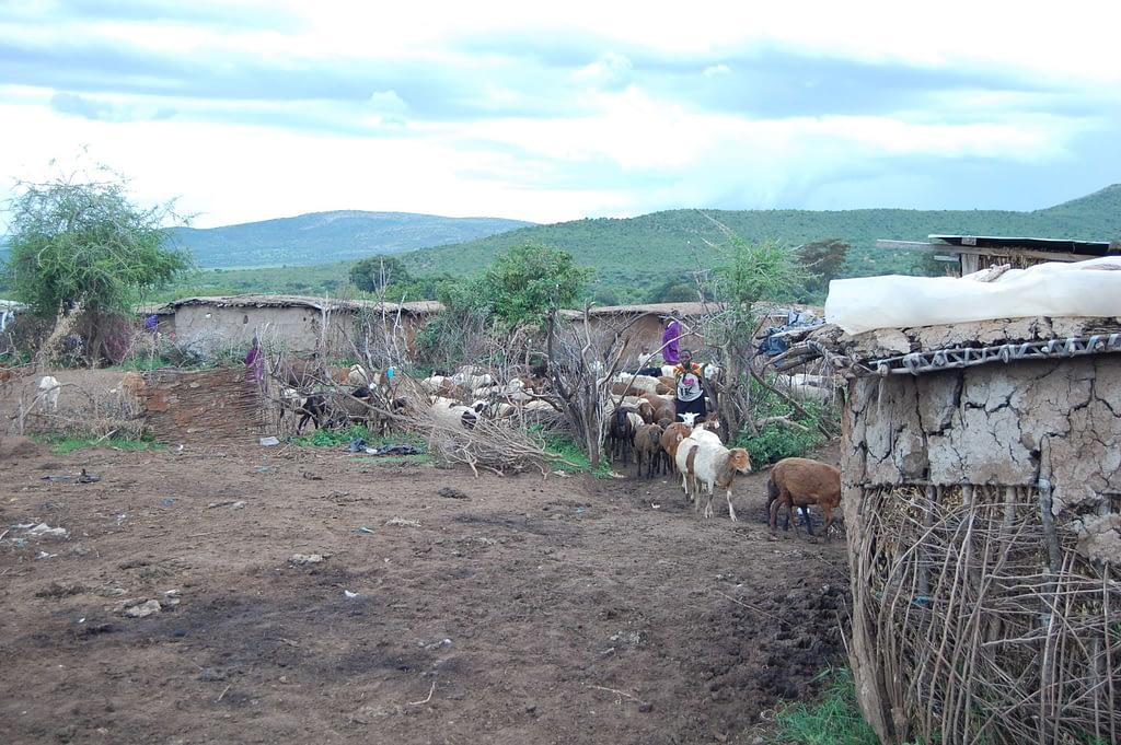 Livestock of Maasai People Entering the Kraal