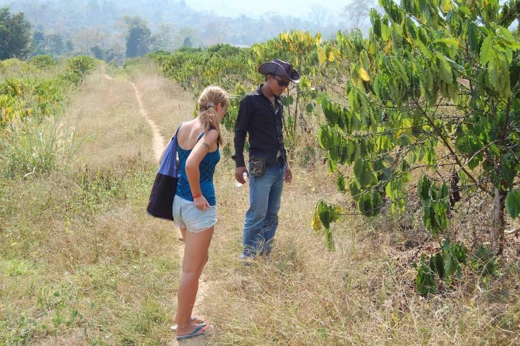 coffee plantation Pailin, Cambodia