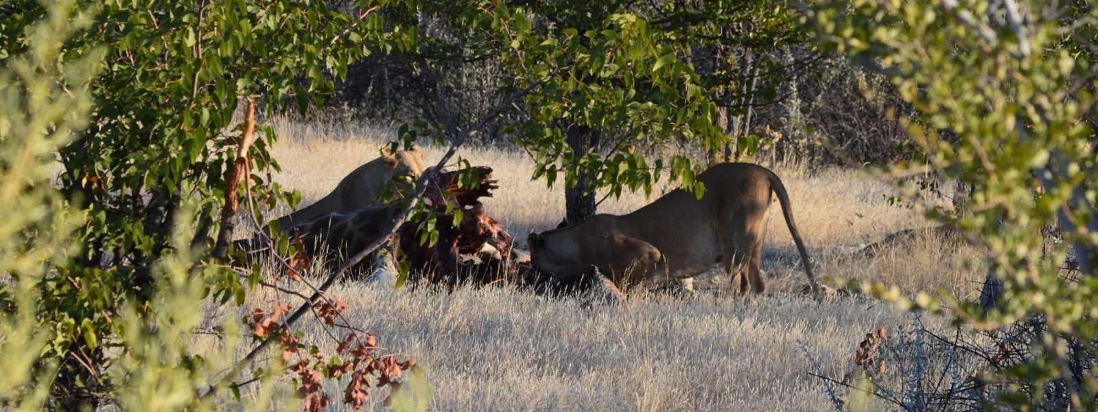 Etosha National Park Lions