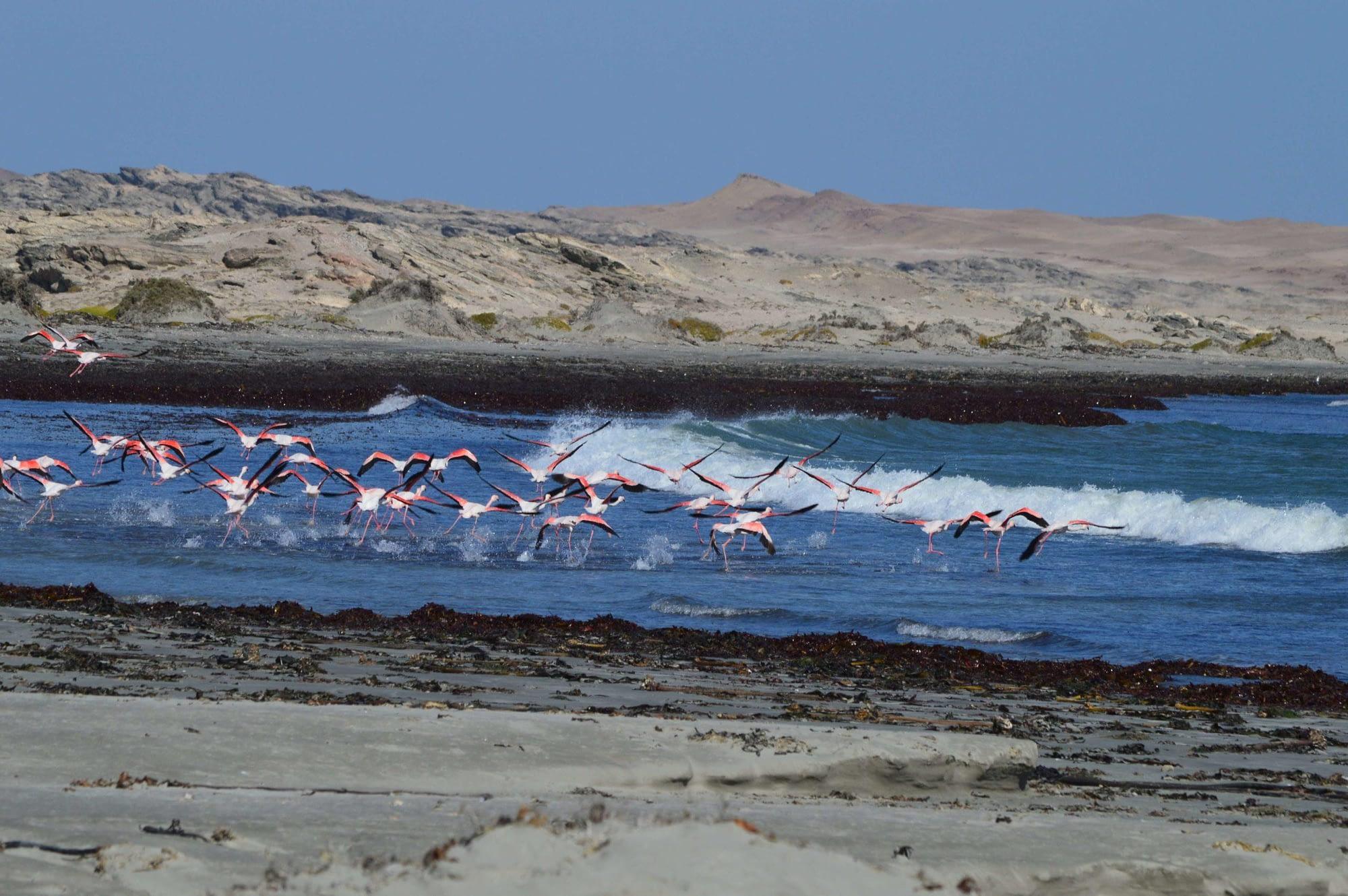 photo of flamingos taking flight on luderitz peninsula