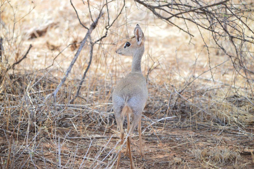 Dik Dik, Samburu Safari