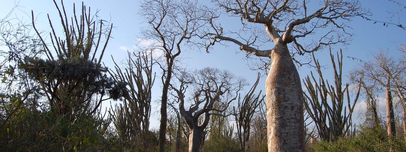 spiny forest ifaty madagascar