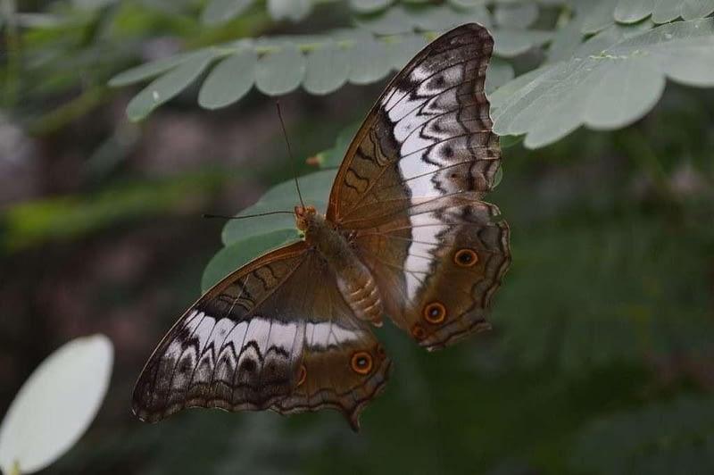 Butterfly Photos Entopia Butterfly Farm