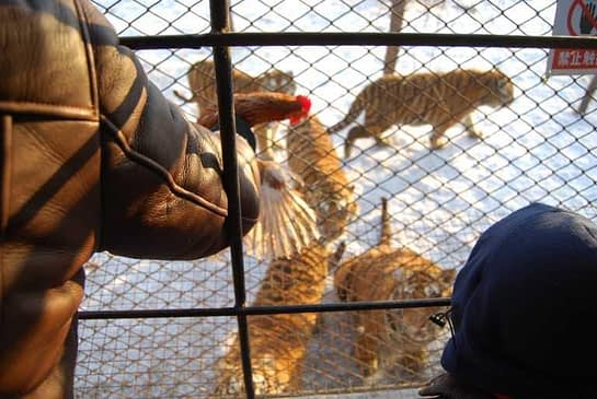 Teasing the tigers with chicken