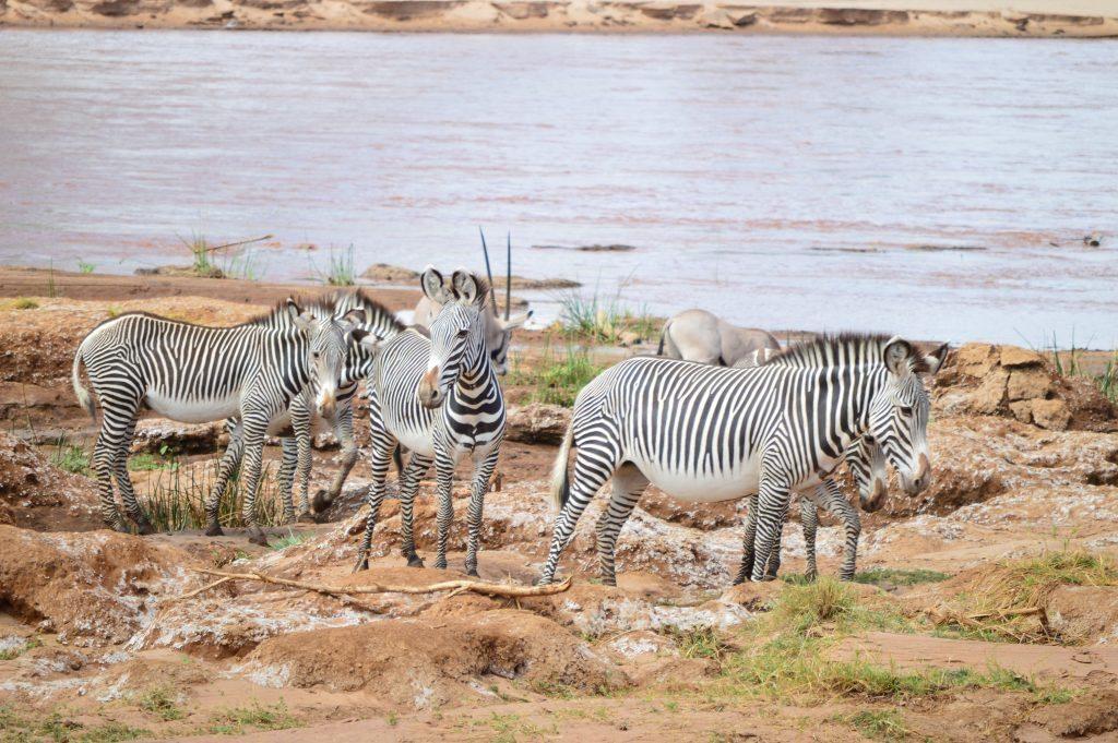 Grevy's zebra with gemsbok