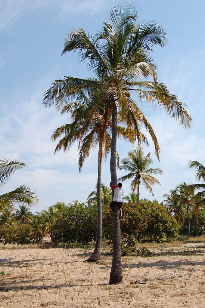 harvesting coconuts In Tofinho MOzambique