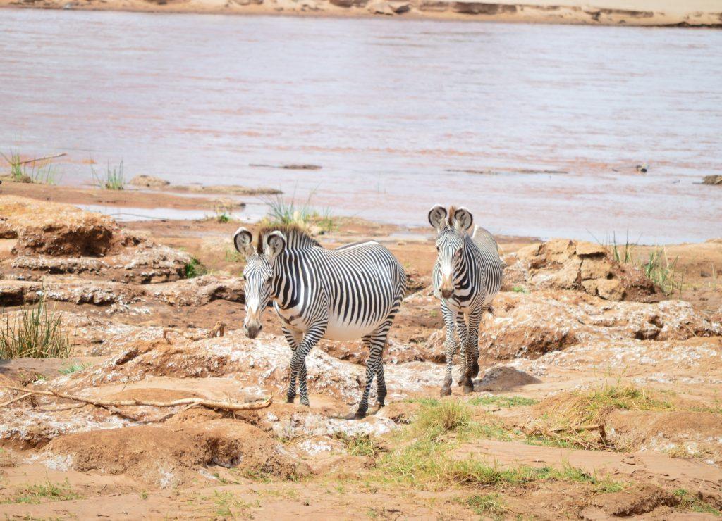 Grevy's zebra Samburu National reserve