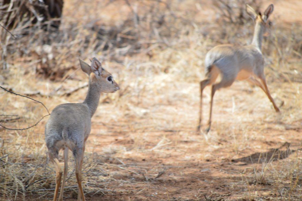 Two Dik Dik, Samburu Safari