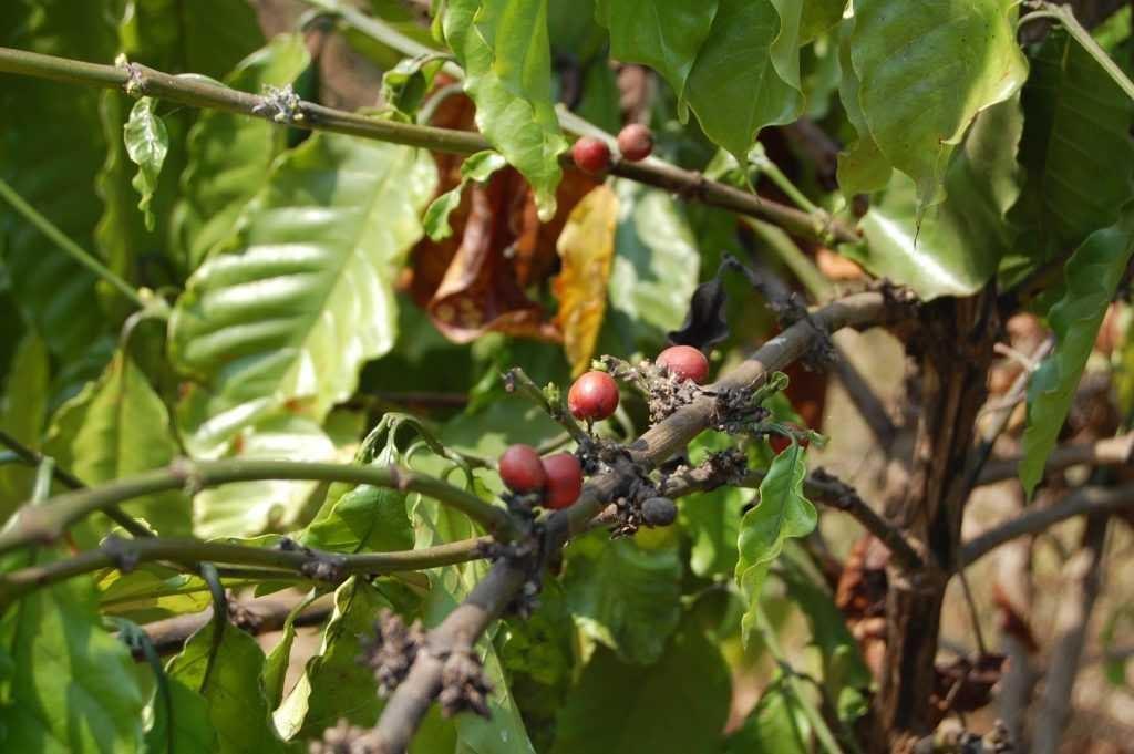 coffee beans pailin cambodia