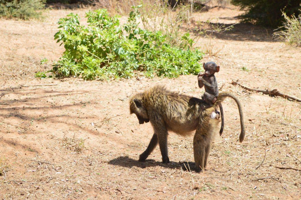 Baboon family Samburu National reserve