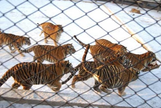 Tiger Live Feeding - Chickens