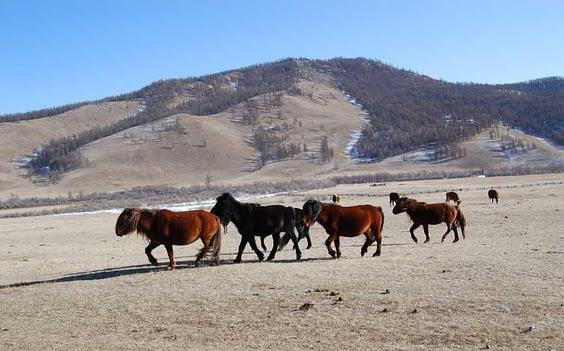 Mongolian Horses roaming freely on Mongolian Steppe