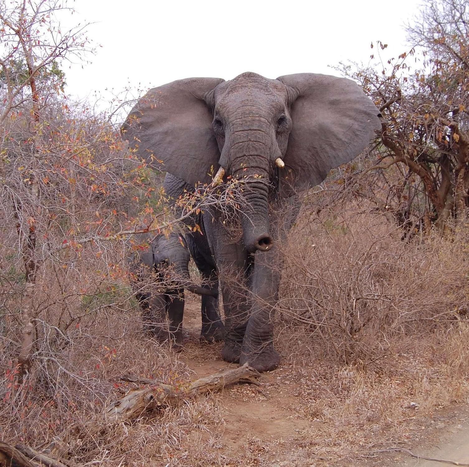 Elephant Photo Hluhluwe - Imfolozi Park