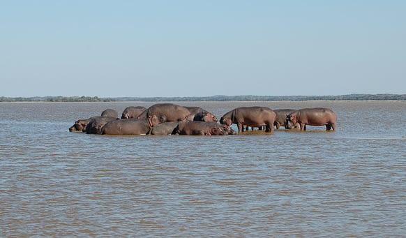 hippopotamus lagoa chingute