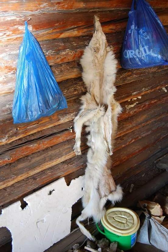 Mongolian Wolf Skin