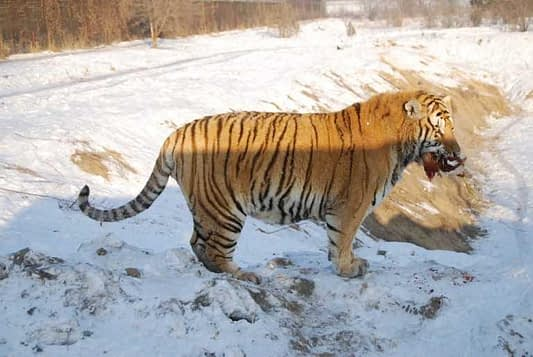 Siberian Tiger Park Live Feeding - Chickens